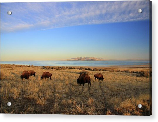 Where The Buffalo Roam Acrylic Print by Gene Praag