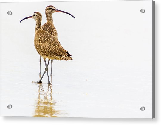 Whimbrel Sandpiper On The Beach Acrylic Print