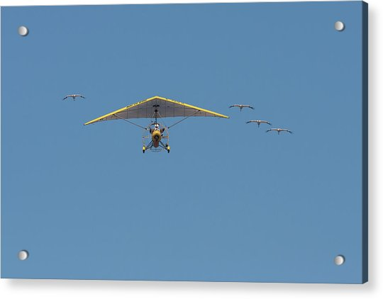 Whooping Cranes And Operation Migration Ultralight Acrylic Print