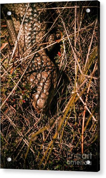 Wild Australian Blue Tongue Lizard Acrylic Print