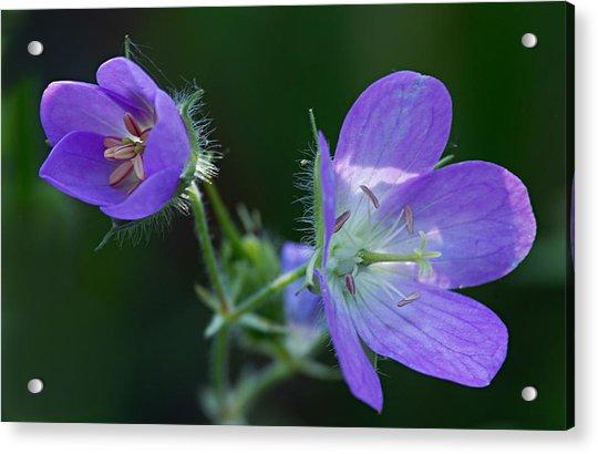Wild Geraniums Acrylic Print