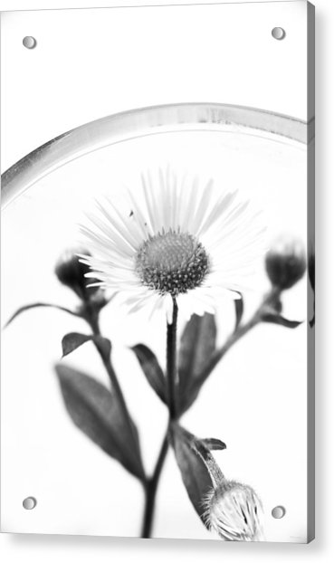 Wildflower In A Wine Glass Black And White Acrylic Print