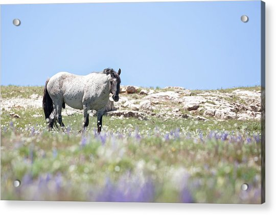 Wildflowers And Mustang Acrylic Print
