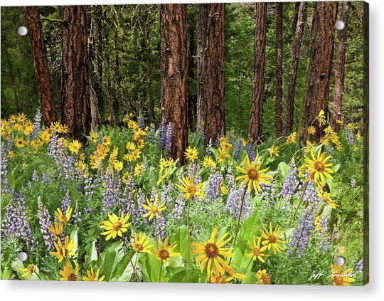 Balsamroot And Lupine In A Ponderosa Pine Forest Acrylic Print