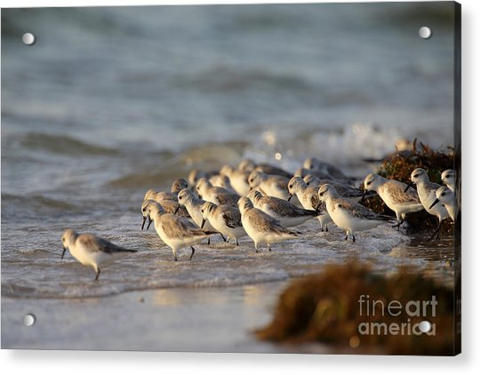 Willets On The Shore. Acrylic Print by Rick Mann