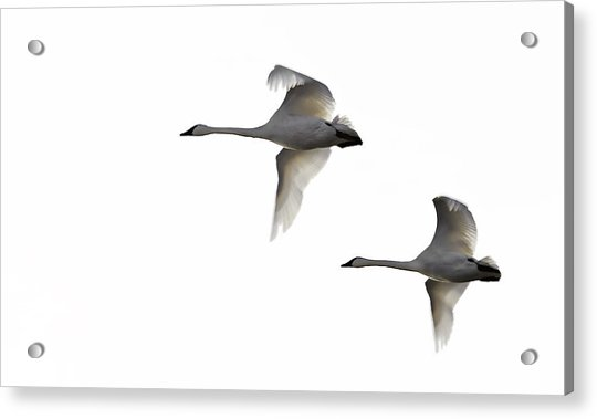 Winter Swans Acrylic Print by David Wynia