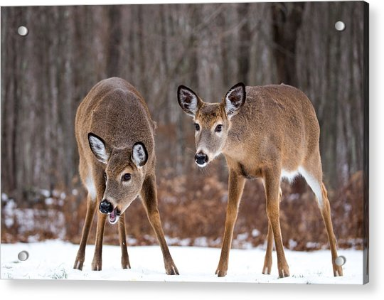 Winter White Tail Deer Acrylic Print