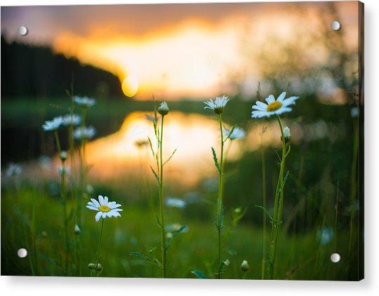 Wisconsin Daisies At Sunset Acrylic Print