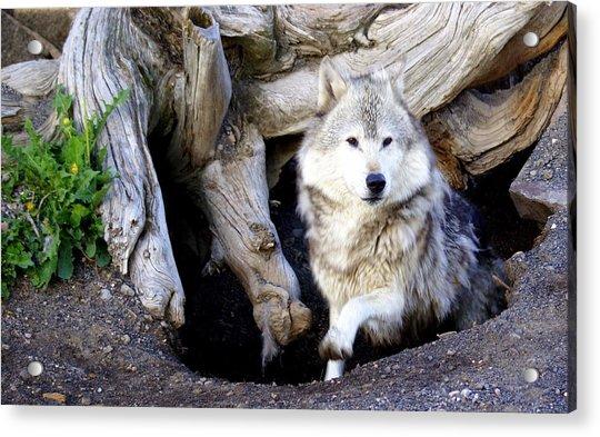 Wolf Den 1 Acrylic Print