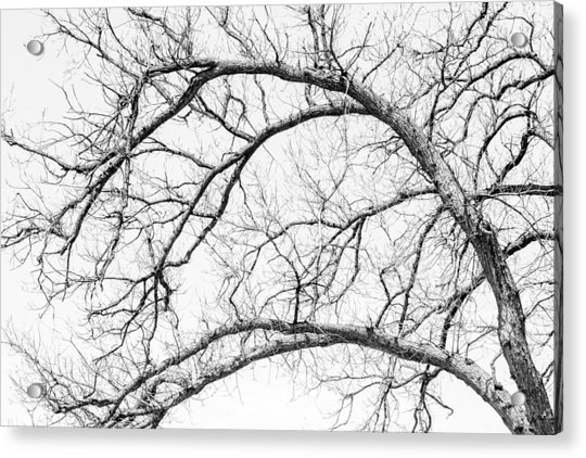 Wooden Arteries Acrylic Print