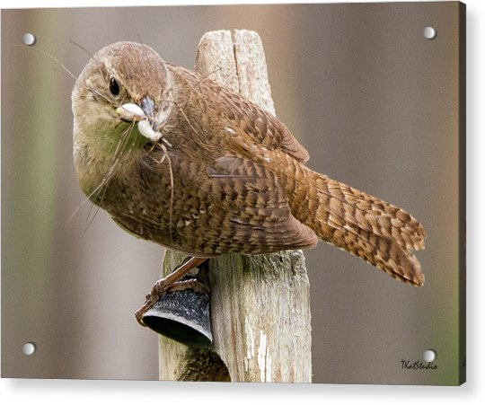 Wren Ringing The Dinner Bell Acrylic Print