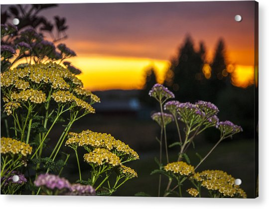 Yarrow At Sunset Acrylic Print