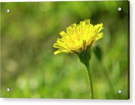 Yellow Flower Acrylic Print by Nikos Stavrakas