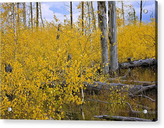 Yellow In Grand Teton Acrylic Print