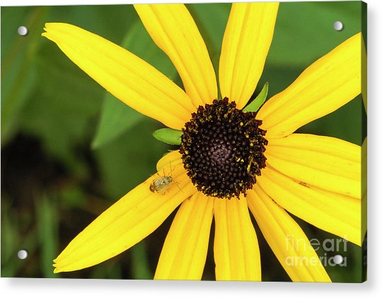 Yellow Petaled Flower With Bug Acrylic Print