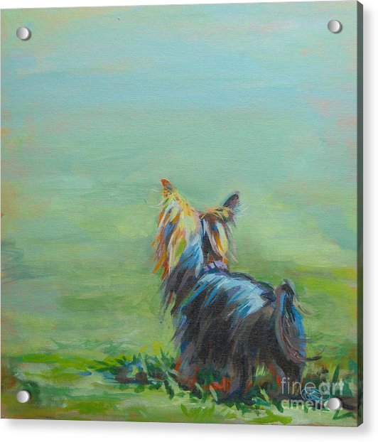 Yorkie In The Grass Acrylic Print