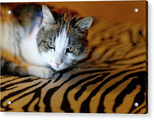 Zebra Cat Acrylic Print
