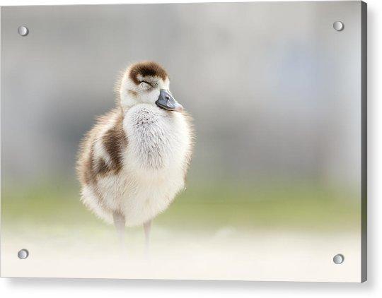 Zen Gosling Acrylic Print