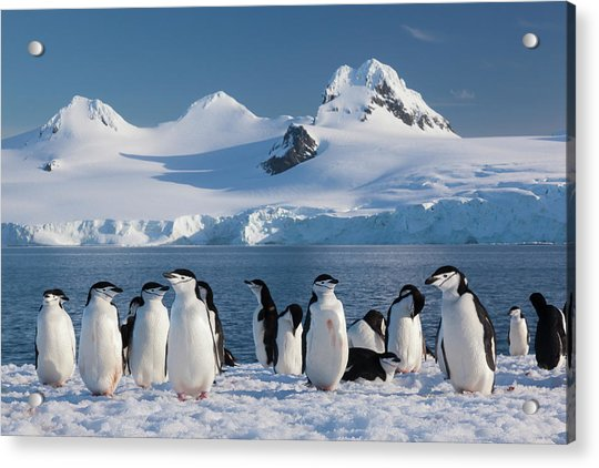 Chinstrap Penguins On Half Moon Island Acrylic Print by Mint Images - Art Wolfe