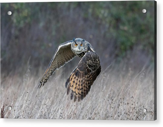 Eurasian Eagle Owl Flying Acrylic Print