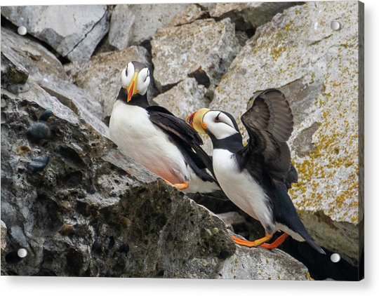 Horned Puffin Pair 2 Acrylic Print