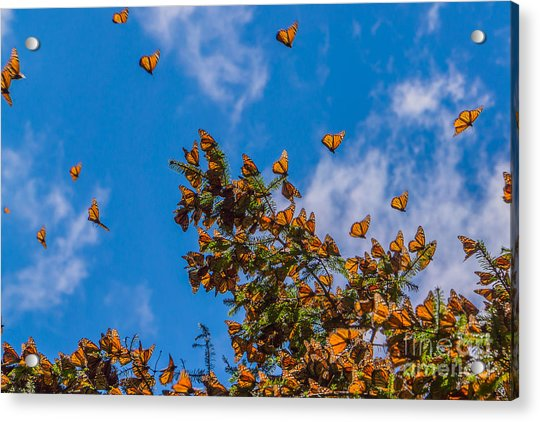 Monarch Butterflies On Tree Branch In Acrylic Print
