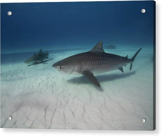 Tiger Shark On White Sand Beach Acrylic Print