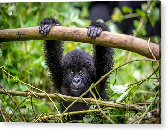 A Baby Gorila Inside The Virunga Acrylic Print by Lmspencer