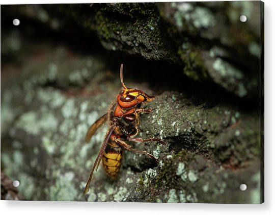 A European Hornet Sitting On A Tree Acrylic Print