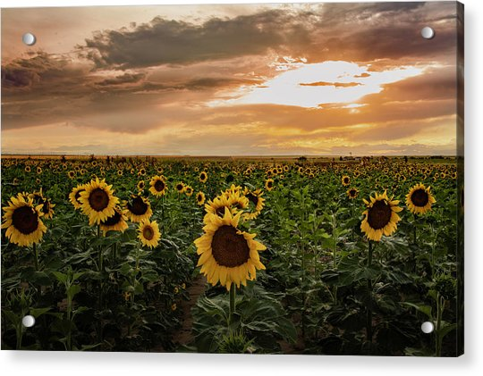 A Field Of Sunflowers At Sunset Acrylic Print
