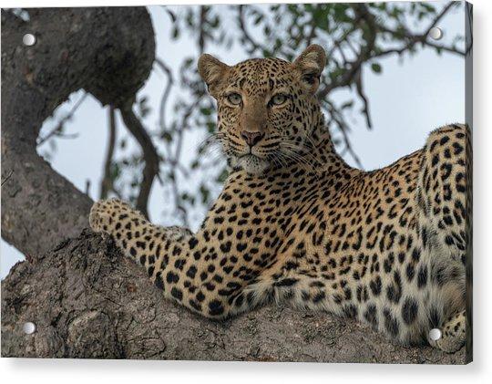 A Leopard Gazes From A Tree Acrylic Print