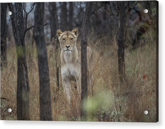 A Lioness In The Trees Acrylic Print