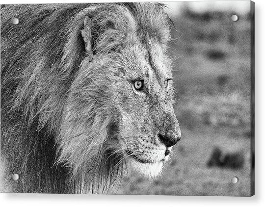 A Monochrome Male Lion Acrylic Print