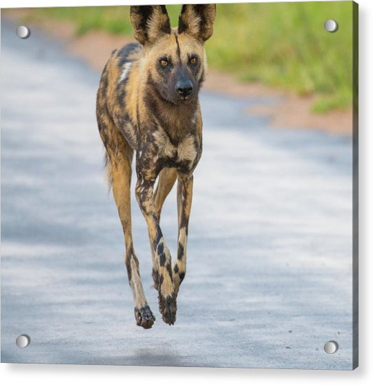 African Wild Dog Bouncing Acrylic Print