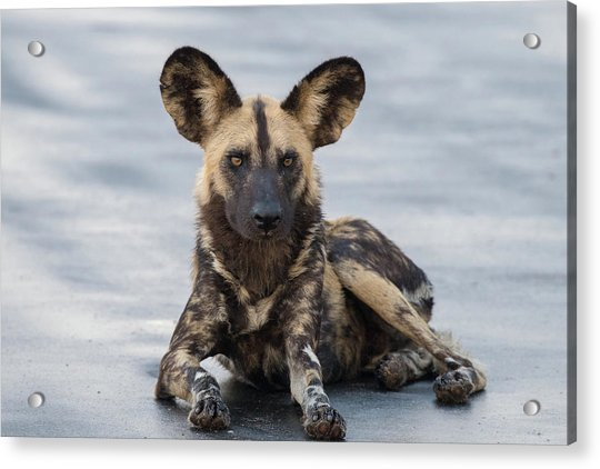 African Wild Dog Resting On A Road Acrylic Print