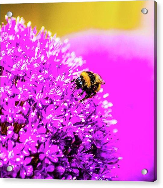 Allium With Bee 2 Acrylic Print