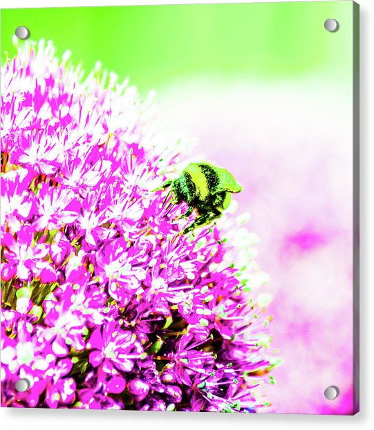 Allium With Bee 3 Acrylic Print