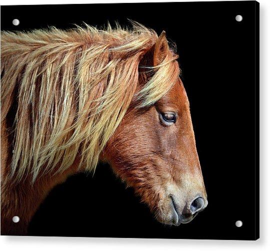 Assateague Pony Sarah's Sweet Tea Portrait On Black Acrylic Print