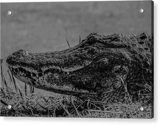 B And W Gator Acrylic Print