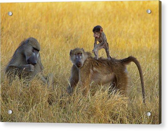 Baboons In Botswana Acrylic Print