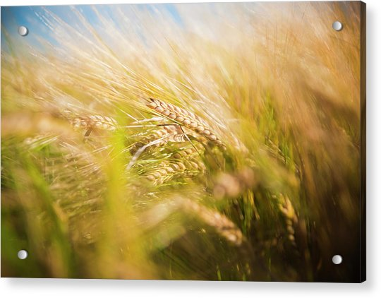 Background Of Ears Of Wheat In A Sunny Field. Acrylic Print
