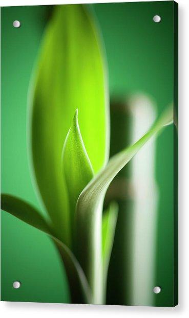 Bamboo Acrylic Print by Willselarep