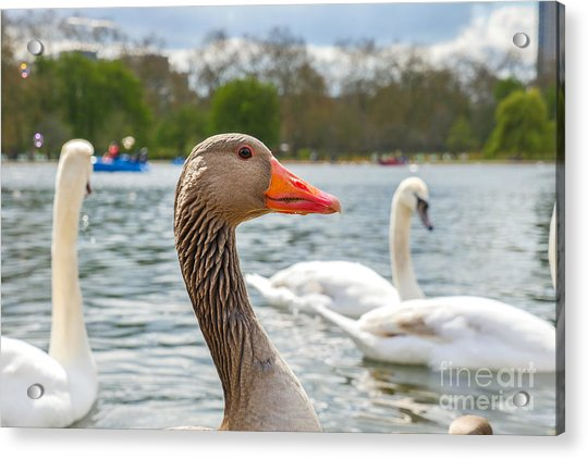 Beautiful Young Swans In Lake Wildlife Acrylic Print