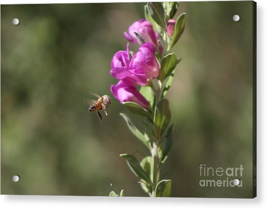 Bee Flying Towards Ultra Violet Texas Ranger Flower Acrylic Print