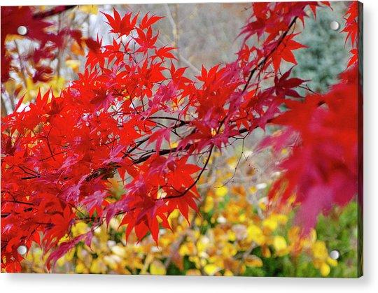 Brilliant Fall Color Acrylic Print