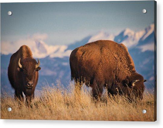 Buffalo Grazing At Dawn Acrylic Print