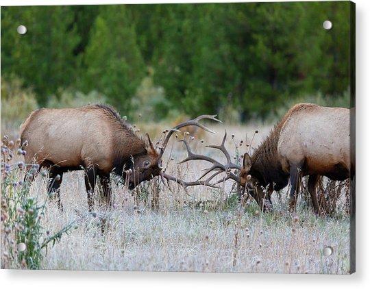 Bull Elk Battle Rocky Mountain National Park Acrylic Print