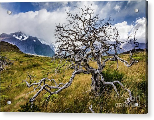 Burnt Tree, Torres Del Paine, Chile Acrylic Print