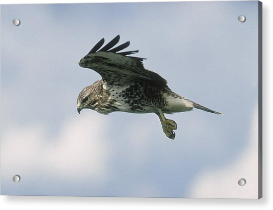 Buzzard, Buteo Buteo, In Flight Acrylic Print