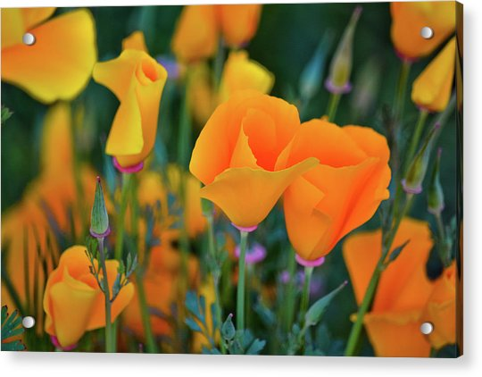 California Poppies Lake Elsinore Acrylic Print